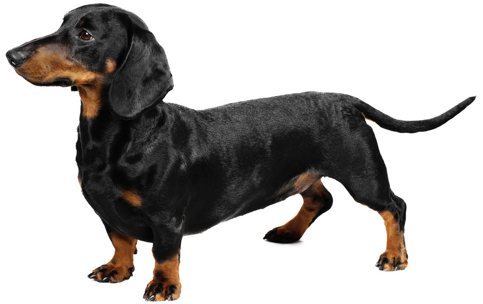 dachshund-dog-breed.jpg